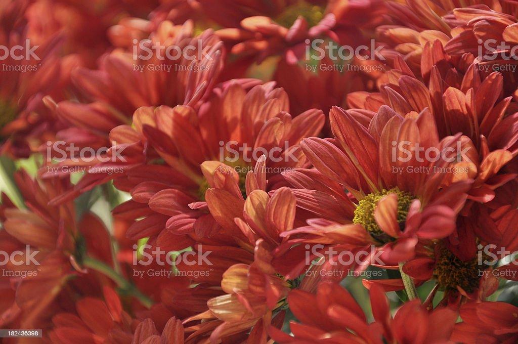 Red Daisy / Chrysanthemum stock photo