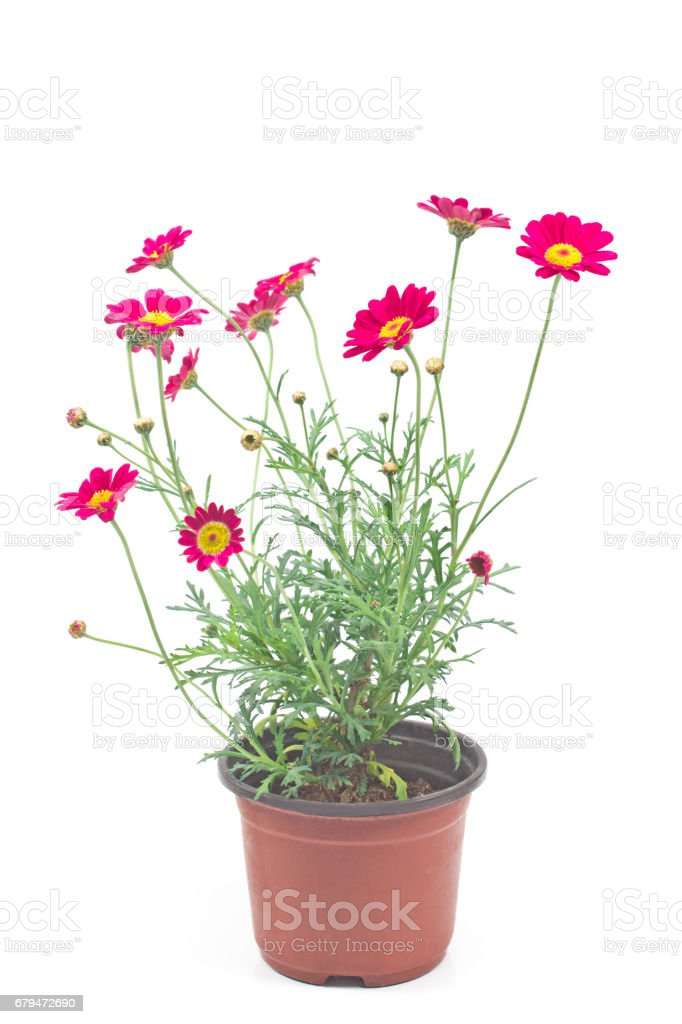 Red daisy flower in pot  isolated on white 免版稅 stock photo