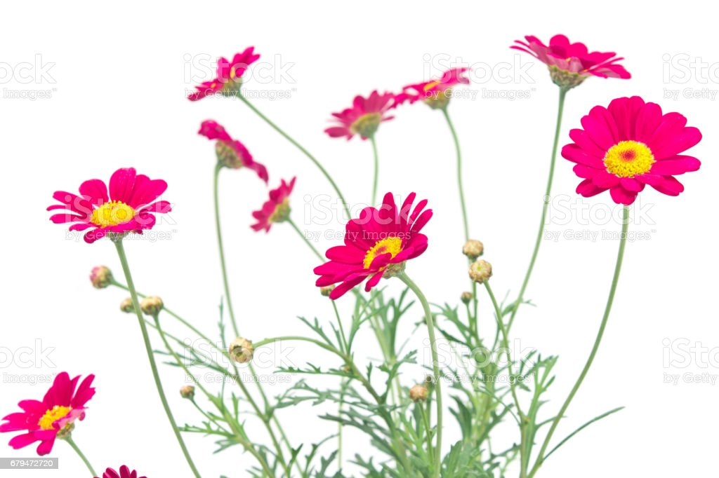 Red daisy flower isolated on white 免版稅 stock photo