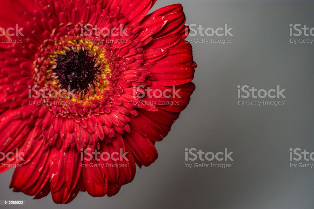 red daisy flower with petals stock photo