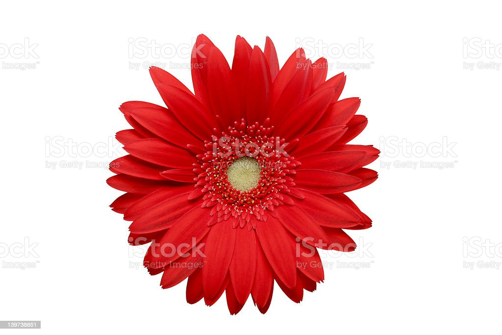 red daisy isolated royalty-free stock photo