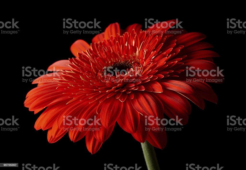 Red daisy-gerbera on black background stock photo