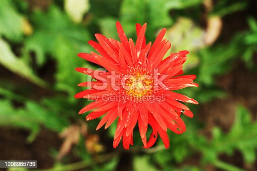 red dalia flower and plant