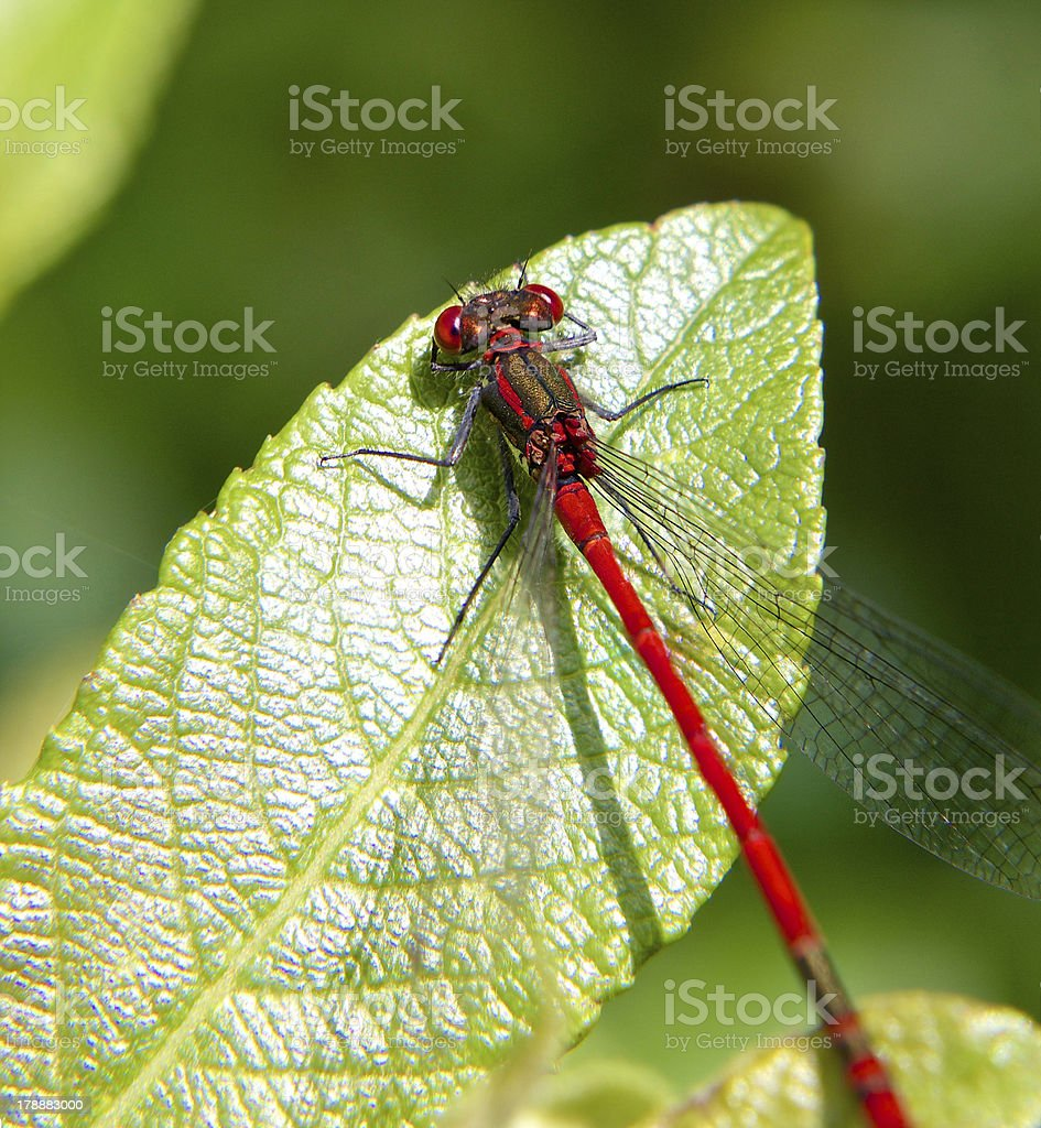 Red Damsel Fly on leaf stock photo