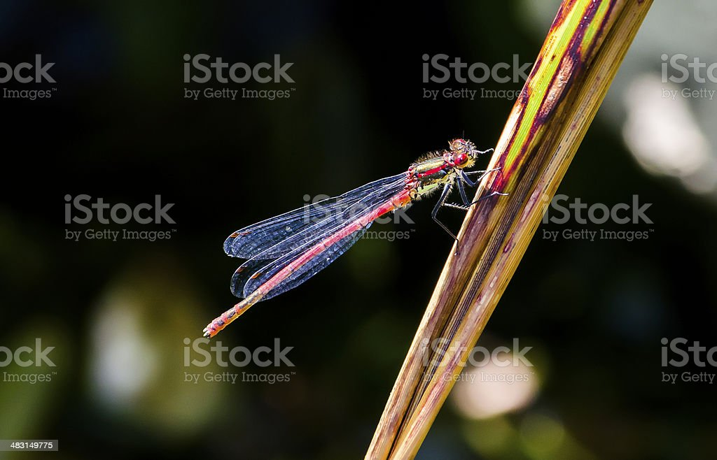 Red Damsel Fly stock photo