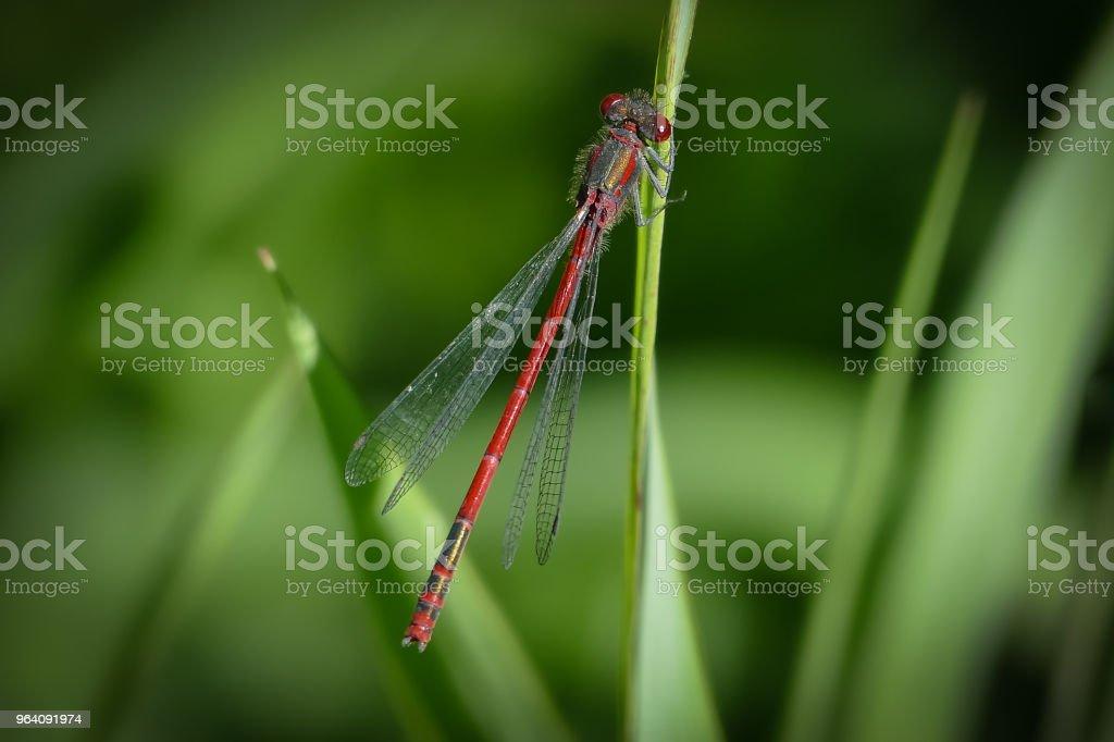 Red Damselfly - Zygoptera - auf einem Ast – Foto