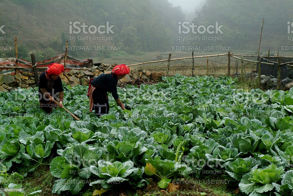 Red Dao Minority working in Vietnam. stock photo