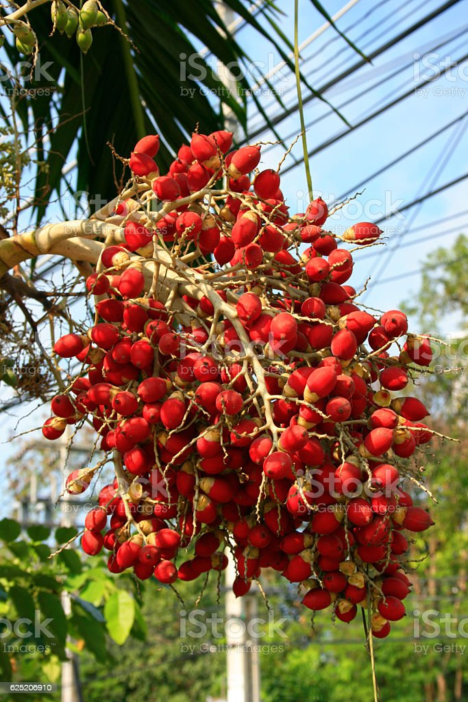 Red dates of a Royal Palm tree stock photo