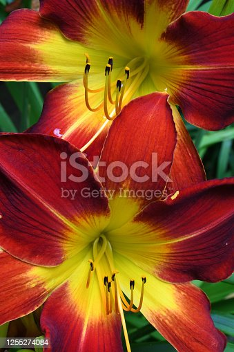 Vertical of two red daylilies in a Connecticut garden