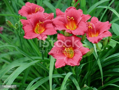 Five red daylilies in full bloom