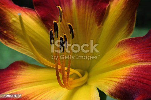 Red daylily in a Connecticut garden facing left