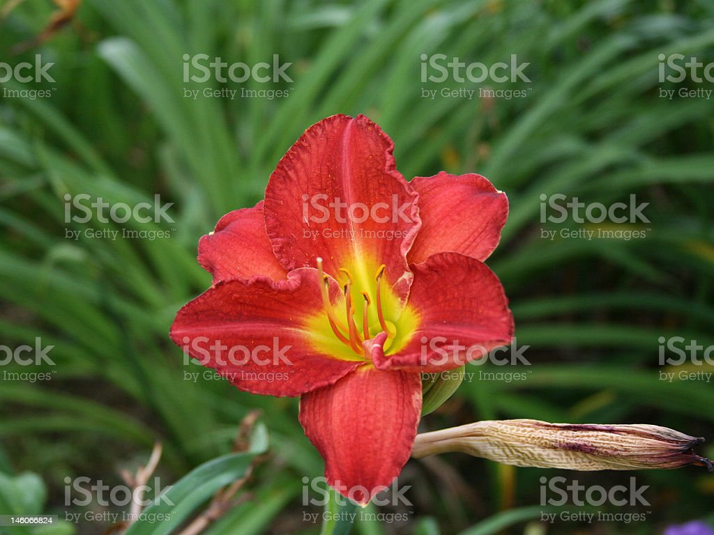 Red Daylily Flower stock photo