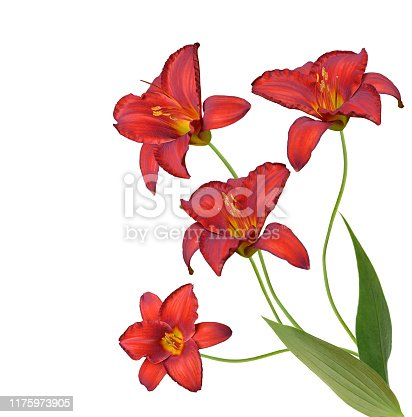 Red daylily flowers isolated on white