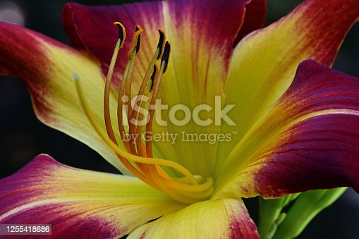 Red daylily in a Connecticut garden with focus on stamens and foreground petals