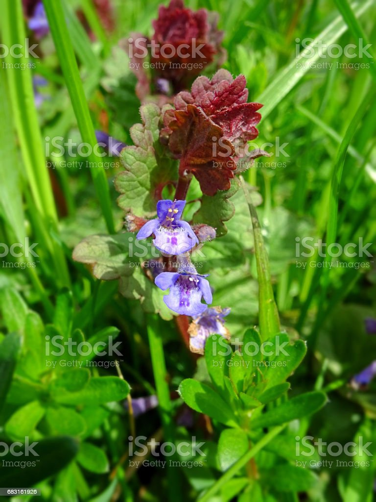 Red dead nettle (Lamium purpureum) with green grass in a background royalty-free 스톡 사진