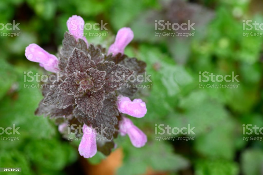 Red dead-nettle stock photo