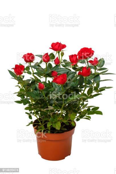 Red decorative roses picture id914620474?b=1&k=6&m=914620474&s=612x612&h=7uptdvtxdgrqbrxz0rut32njxjthfp9ap gvh1rrhv0=