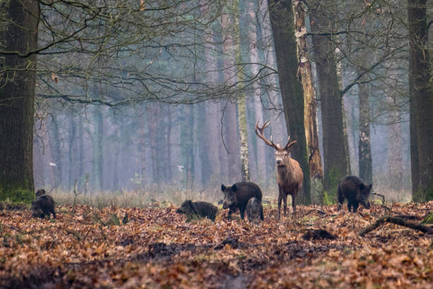 red deer and wild boar in a forest - cinghiale animale foto e immagini stock