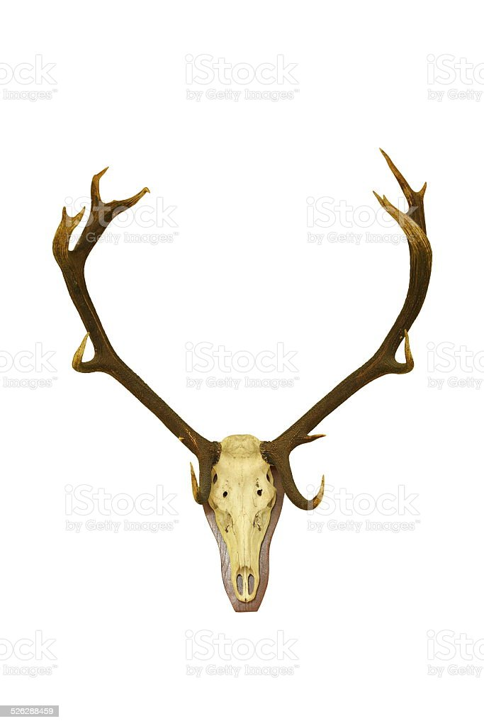 Red Deer Buck Isolated Hunting Trophy Stock Photo More Pictures Of
