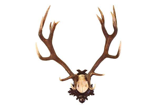 red deer buck isoliert trophy - deko geweih stock-fotos und bilder