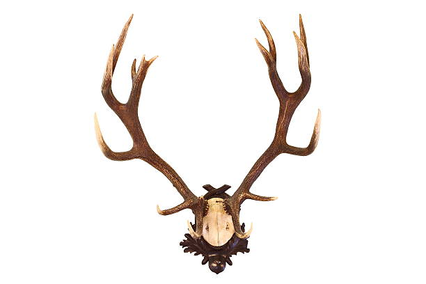 red deer buck isoliert trophy - geweih stock-fotos und bilder
