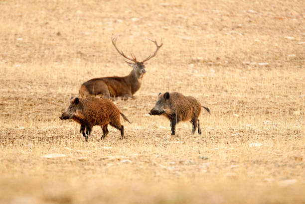 Red deer, Cervus elaphus, and wild boar, sus scrofa Red deer, Cervus elaphus, and wild boar, sus scrofa rutting stock pictures, royalty-free photos & images