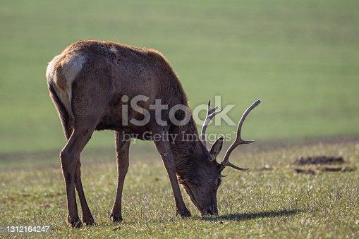 Red deer, cervus elaphus, grazing on meadow