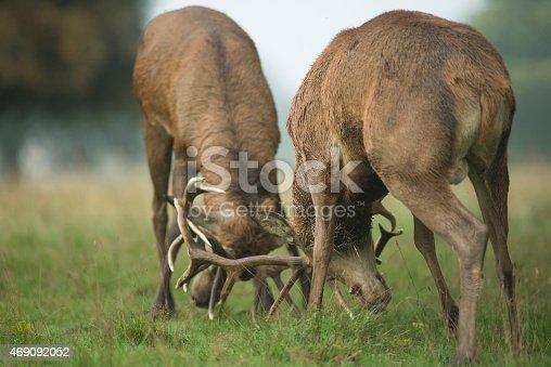 465666157 istock photo Red deer - Cervus elaphus 469092052