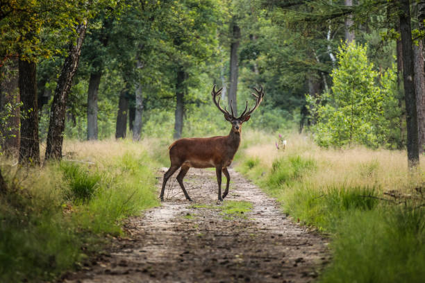 Red deer crossing a sand path in the middle of a forest in a wildlife park, the Veluwe, The Netherlands Largest National Park in the Netherlands. red deer animal stock pictures, royalty-free photos & images