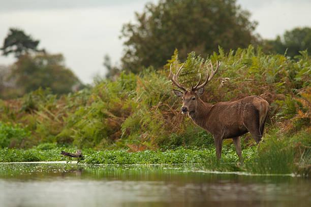 Red deer crossing stream