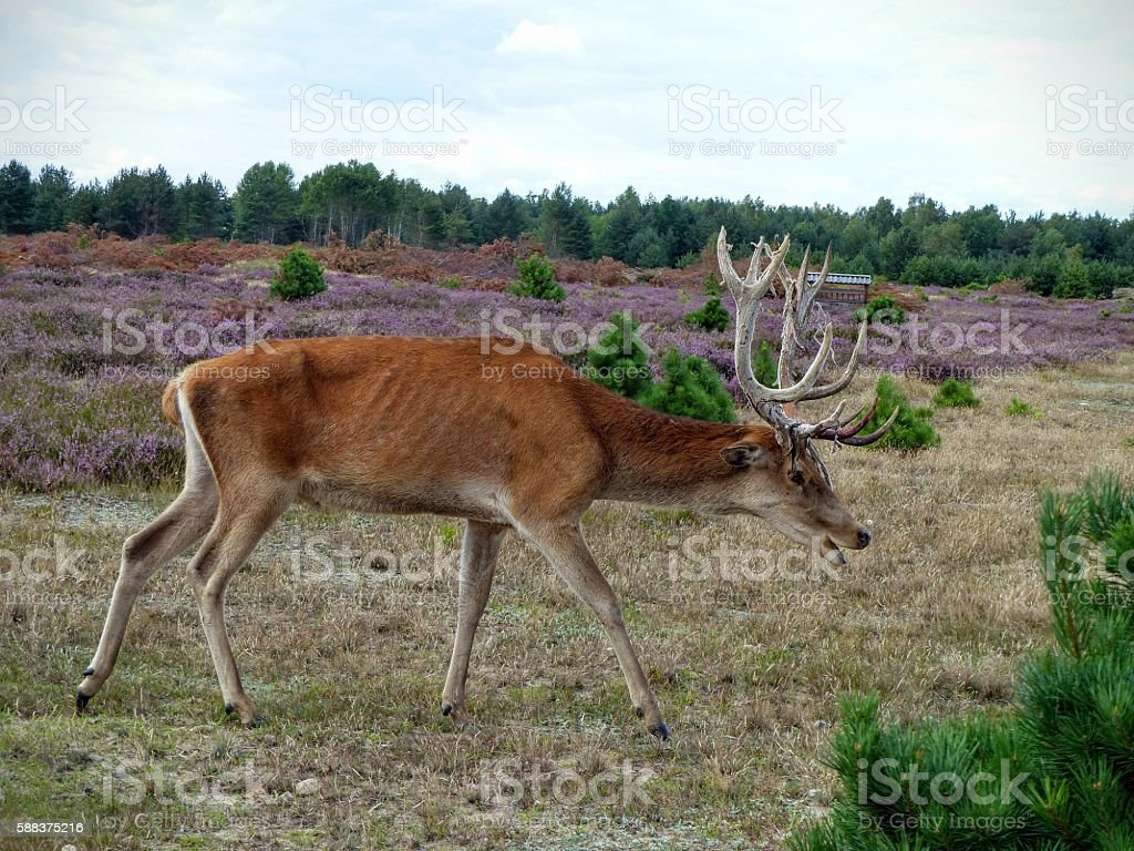 Red deer crouches lowly to forage for food stock photo