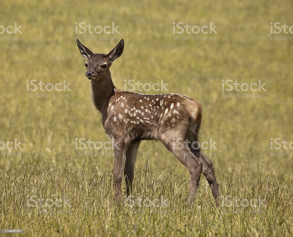 Red deer fawn, Nelson, New Zealand royalty-free stock photo