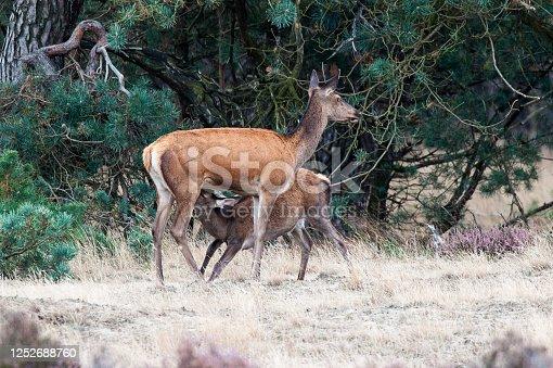 Red deer feeding her young in National Park De Hoge Veluwe.