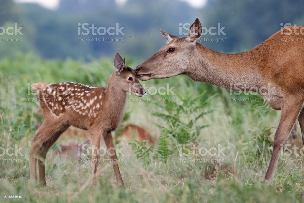Red deer (Cervus elaphus) female hind mother and young baby calf having a tender bonding moment stock photo