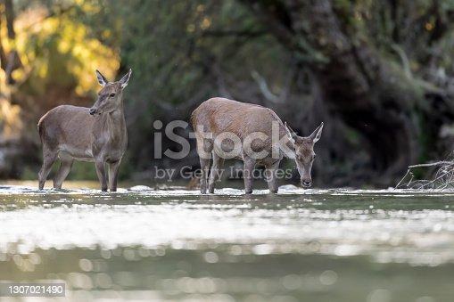 istock Red deer females cross the wild river (Cervus elaphus) 1307021490