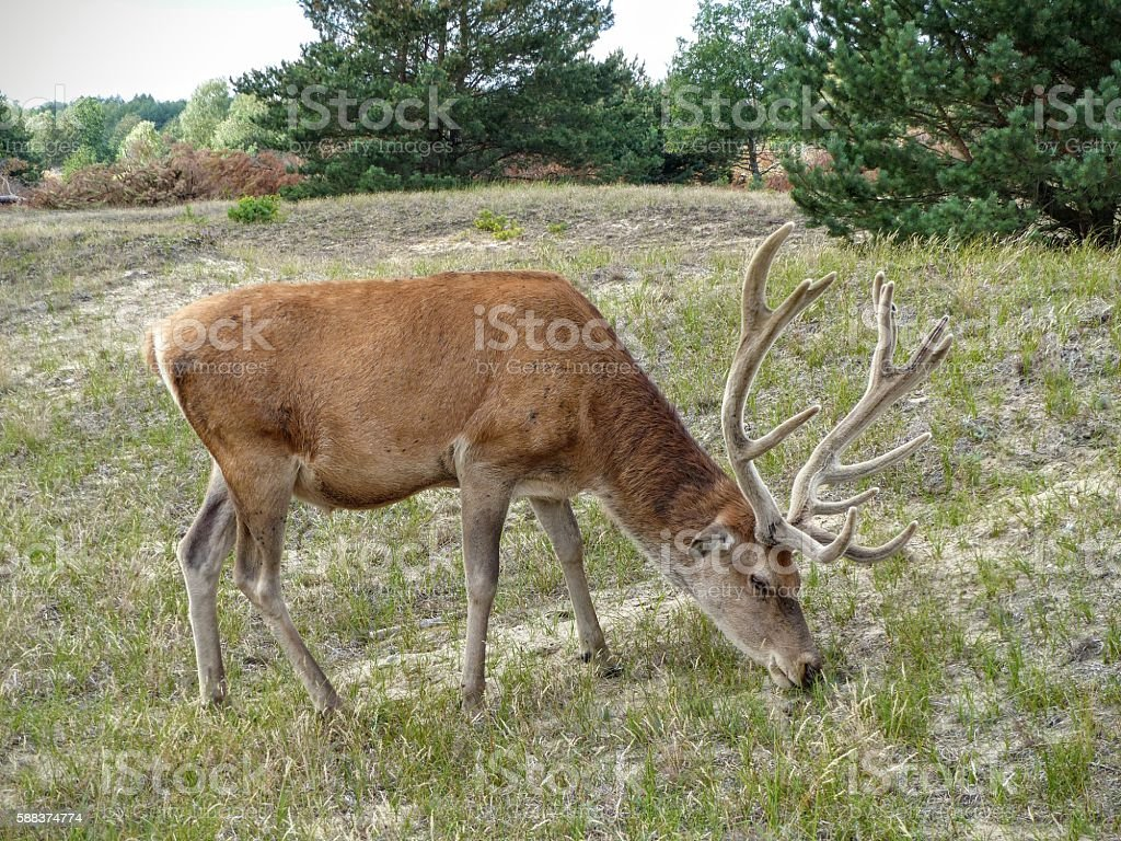 Red deer grazing in a woody pasture stock photo