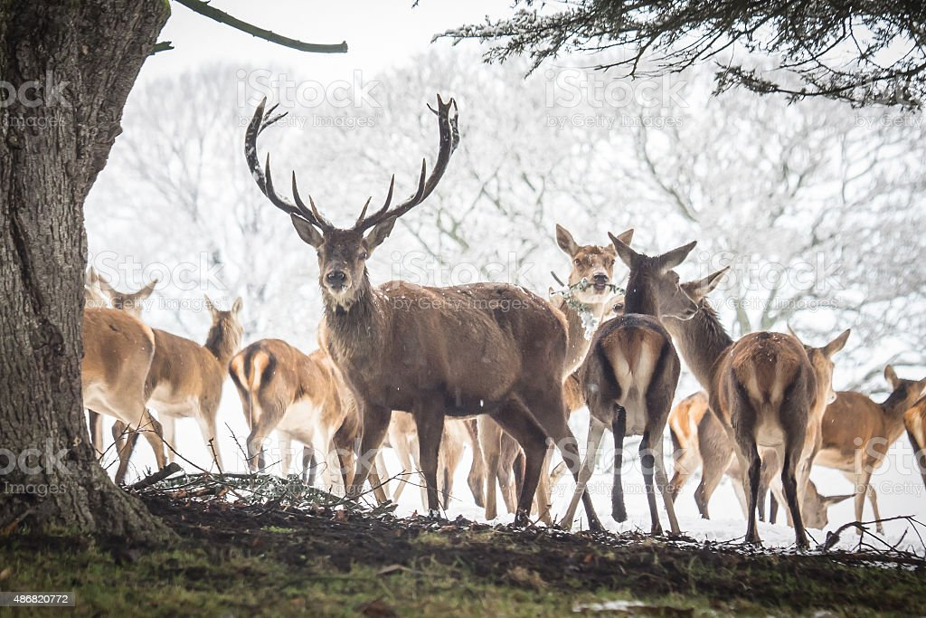 Red Deer Herd stock photo
