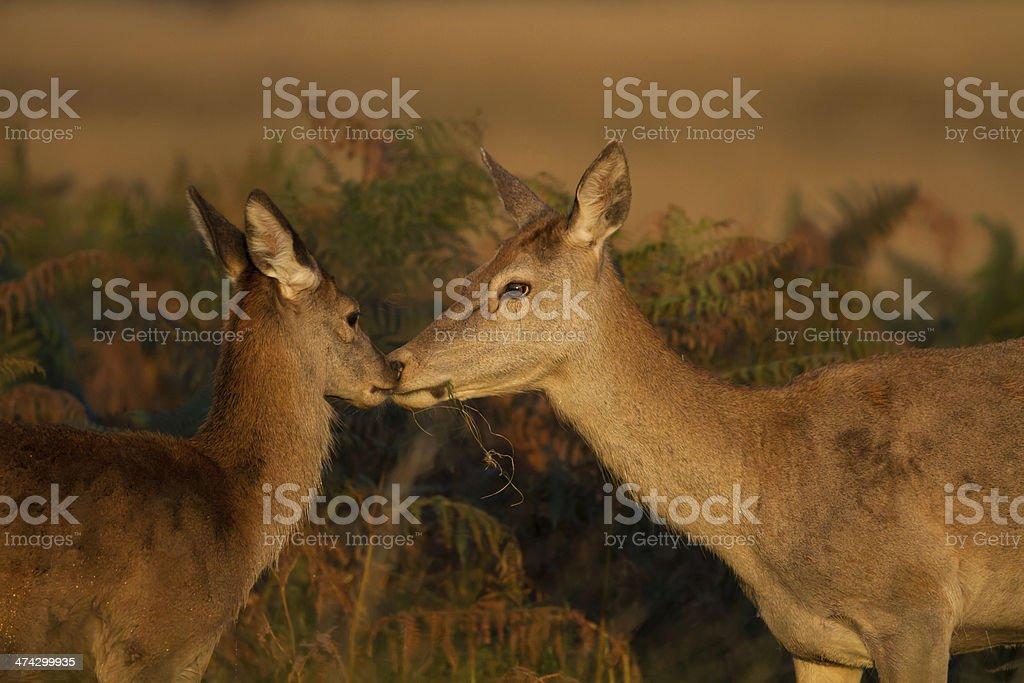 Red deer (Cervus elaphus) hind and a half stock photo