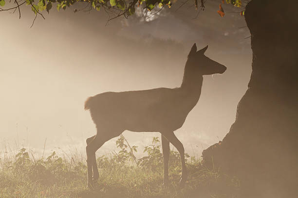 red deer hind female in foggy autumnal morning - whiteway deer stock photos and pictures