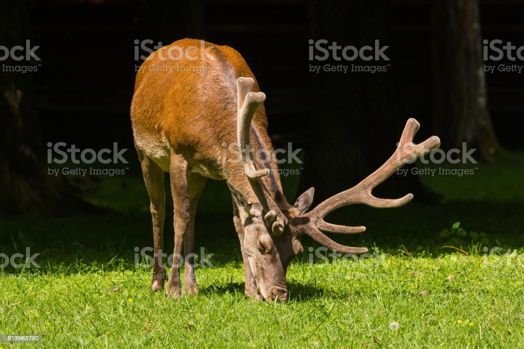 Red Deer in Bialowieza Forest stock photo