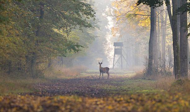 red deer dans une forêt - chasser photos et images de collection