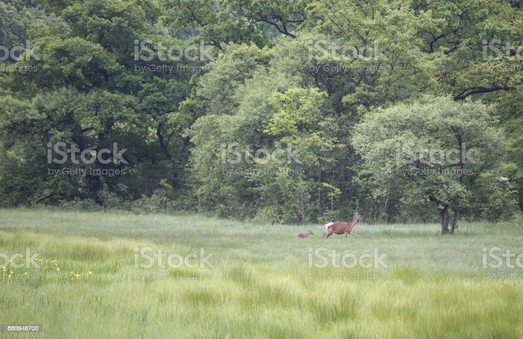 Red deer in forest royalty-free stock photo