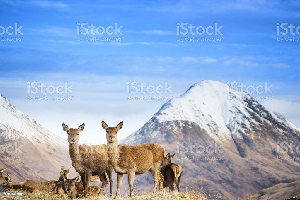Red Deer In Glen Etive stock photo