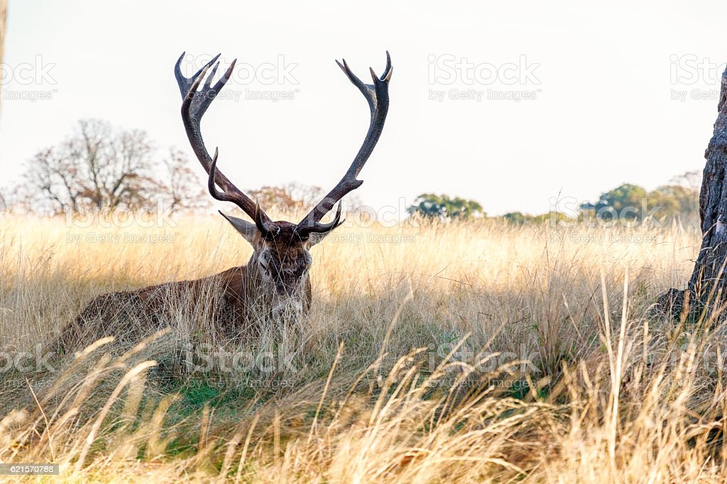 Red Deer in Richmond Park photo libre de droits