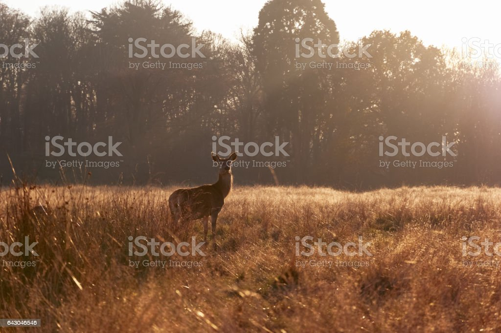 Red deer in Richmond Park stock photo