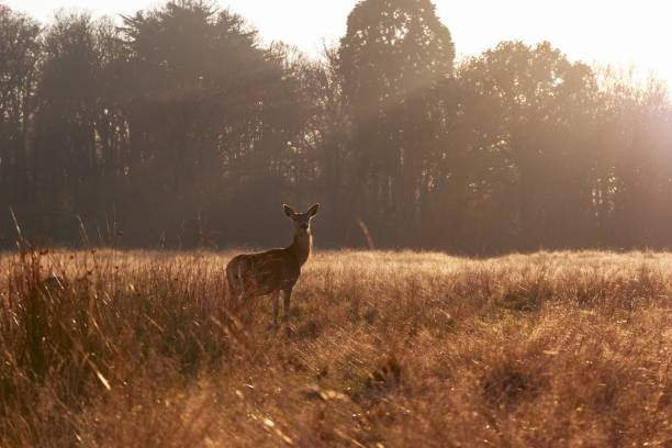 red deer in richmond park - richmond park stock photos and pictures