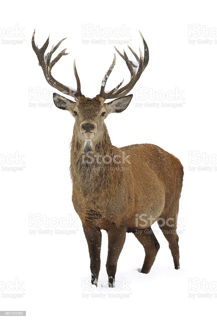 Red deer in snow stock photo