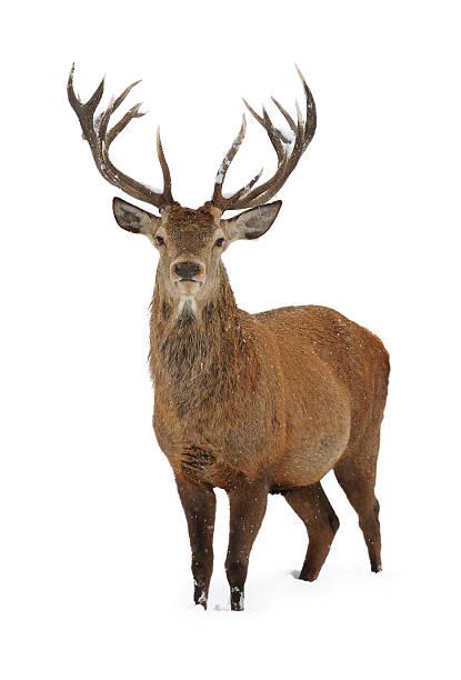 red deer dans la neige - famille du cerf photos et images de collection