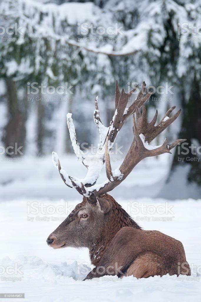 Red Deer in Snow stock photo