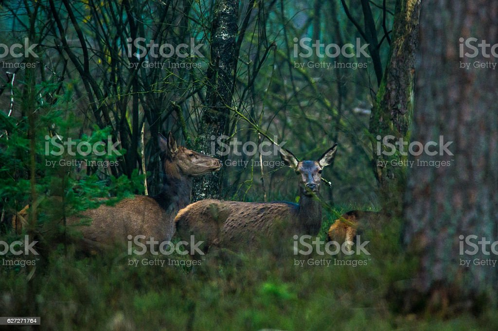 Rothirsche im Nationalpark stock photo